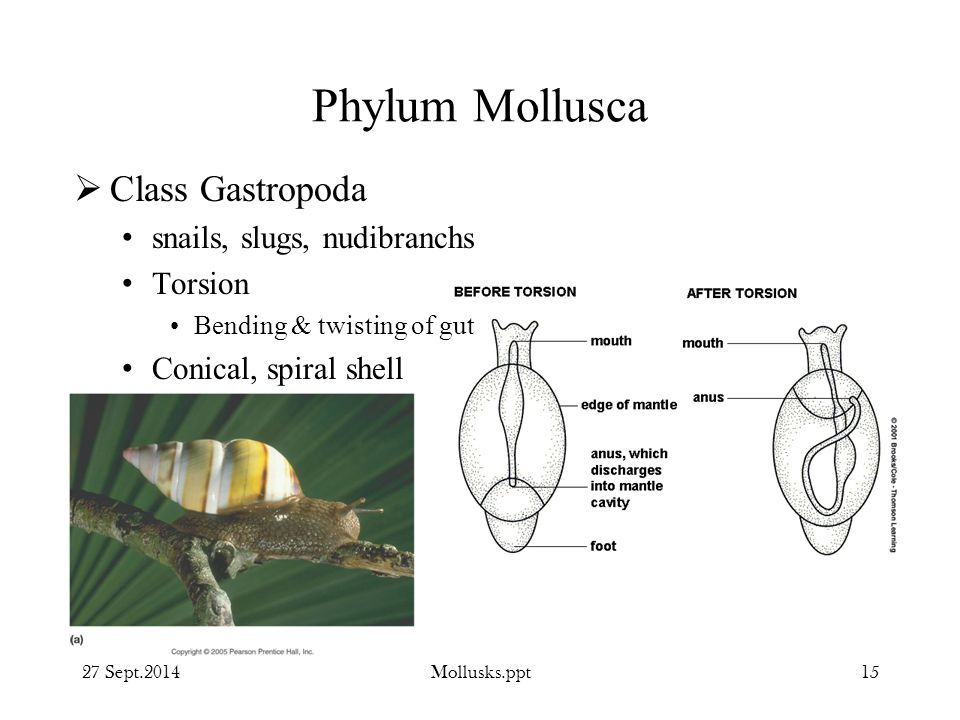Phylum Mollusca Class Gastropoda snails, slugs, nudibranchs Torsion