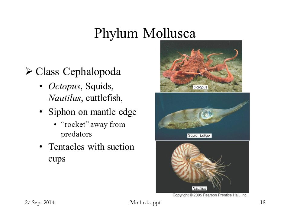 Phylum Mollusca Class Cephalopoda