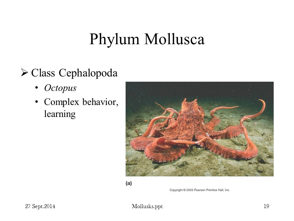 Phylum Mollusca Class Cephalopoda Octopus Complex behavior, learning