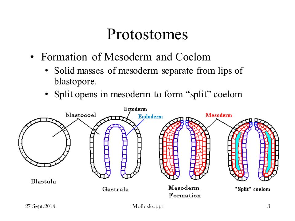 Protostomes Formation of Mesoderm and Coelom