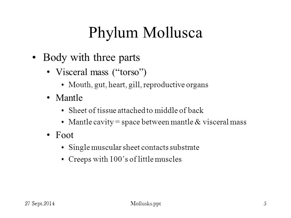 Phylum Mollusca Body with three parts Visceral mass ( torso ) Mantle