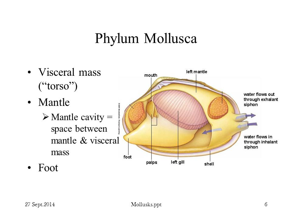 Phylum Mollusca Visceral mass ( torso ) Mantle Foot