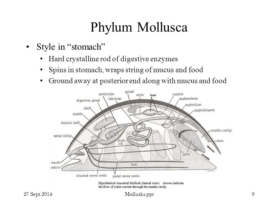 Phylum Mollusca Style in stomach