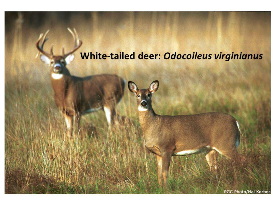 White-tailed deer: Odocoileus virginianus