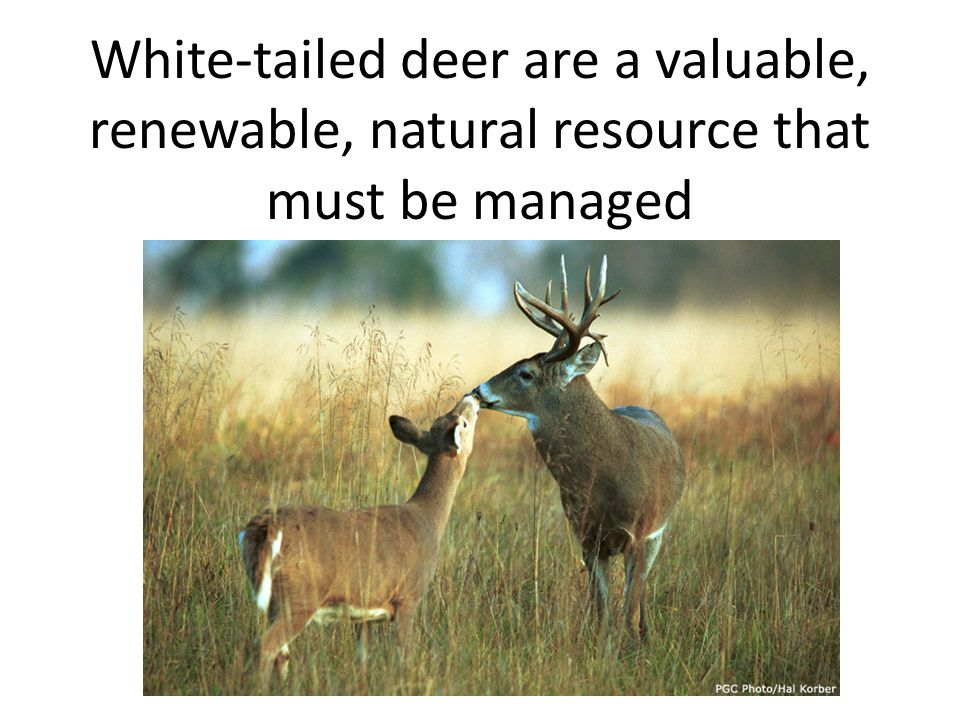 White-tailed deer are a valuable, renewable, natural resource that must be managed
