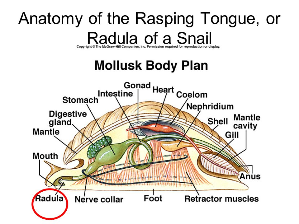 Anatomy of the Rasping Tongue, or Radula of a Snail