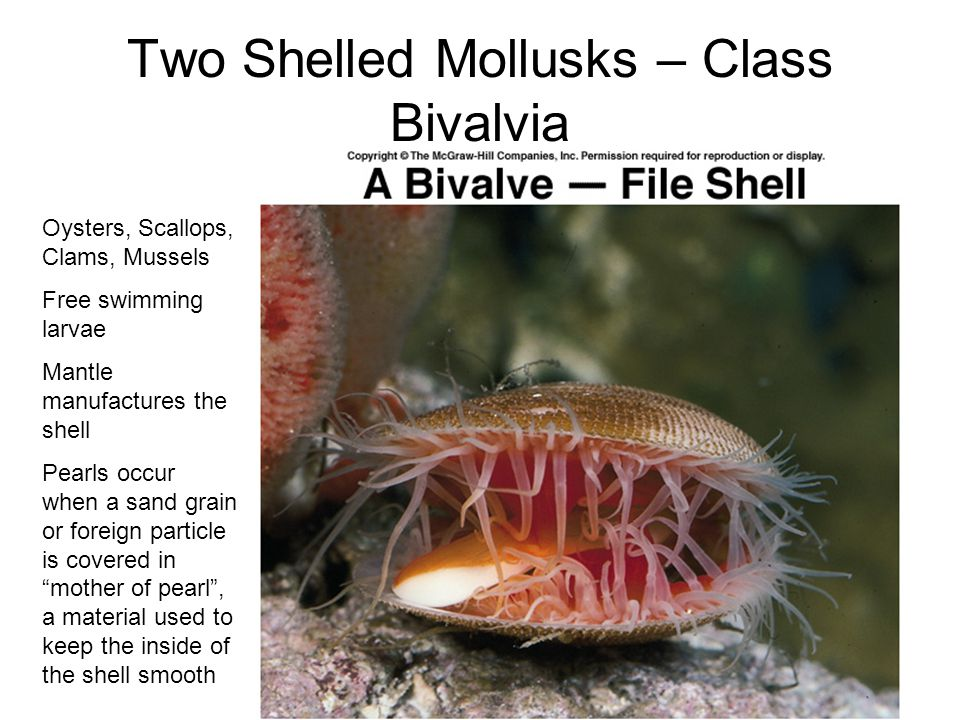 Two Shelled Mollusks – Class Bivalvia
