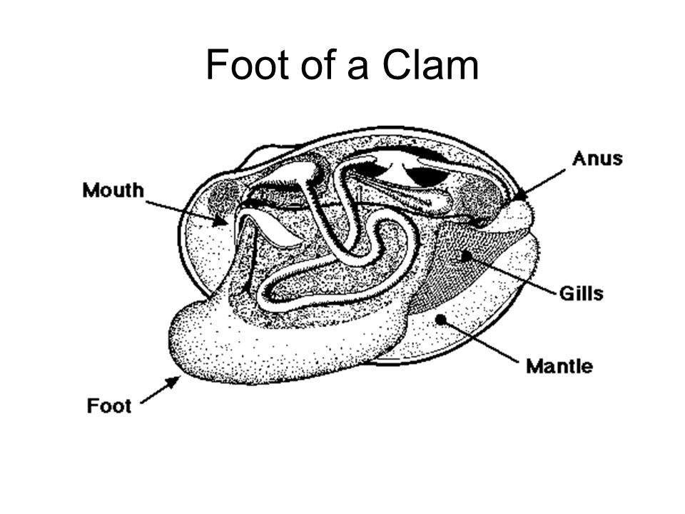 Foot of a Clam