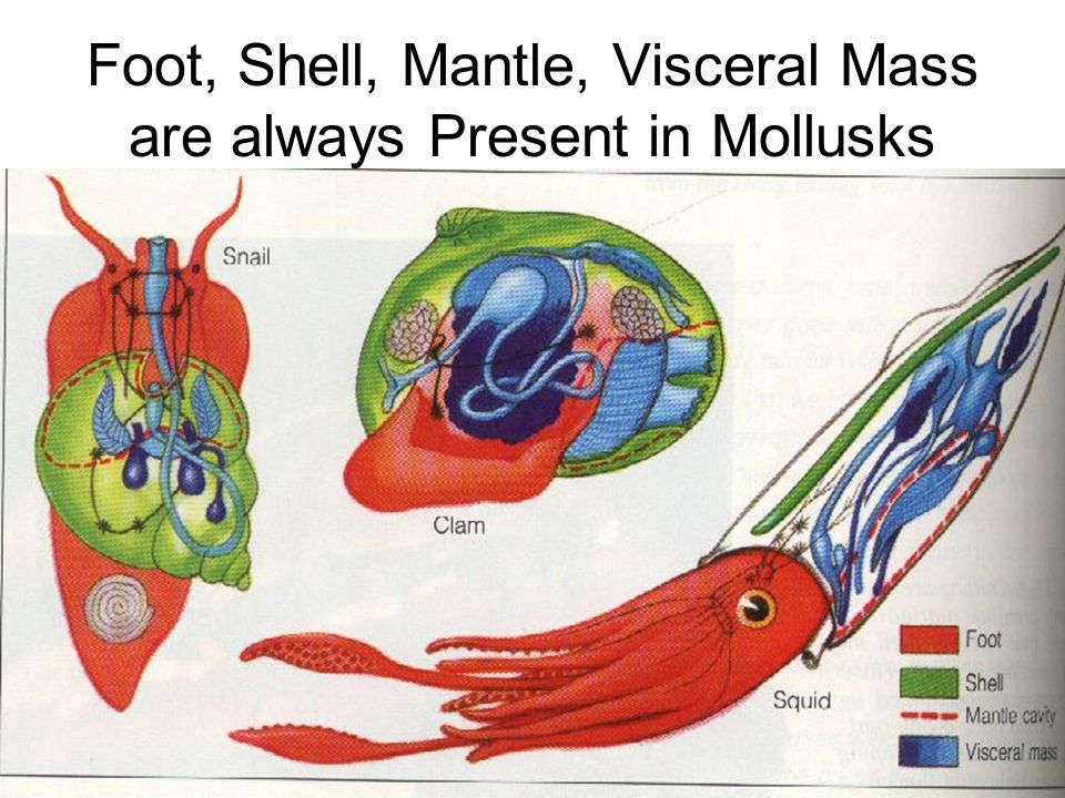 Foot, Shell, Mantle, Visceral Mass are always Present in Mollusks