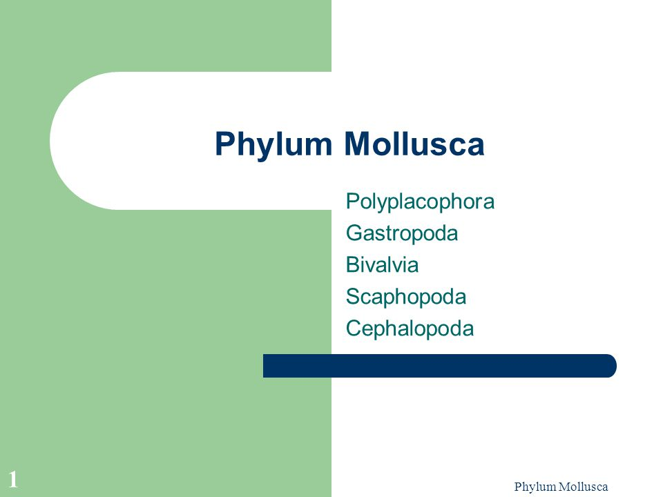 Polyplacophora Gastropoda Bivalvia Scaphopoda Cephalopoda