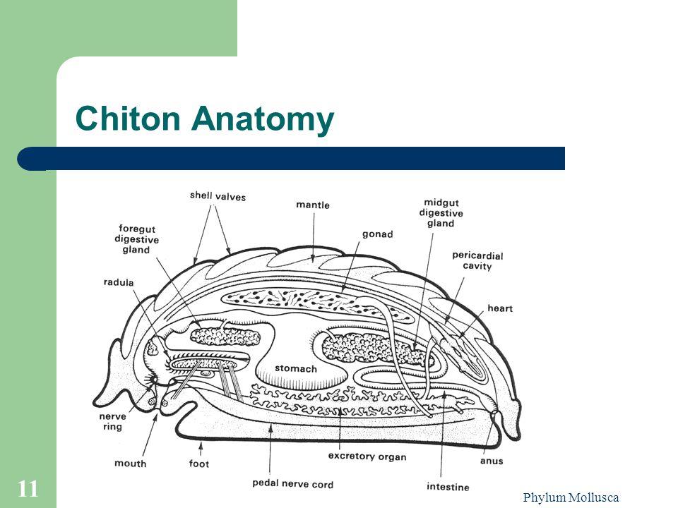 Chiton Anatomy Phylum Mollusca