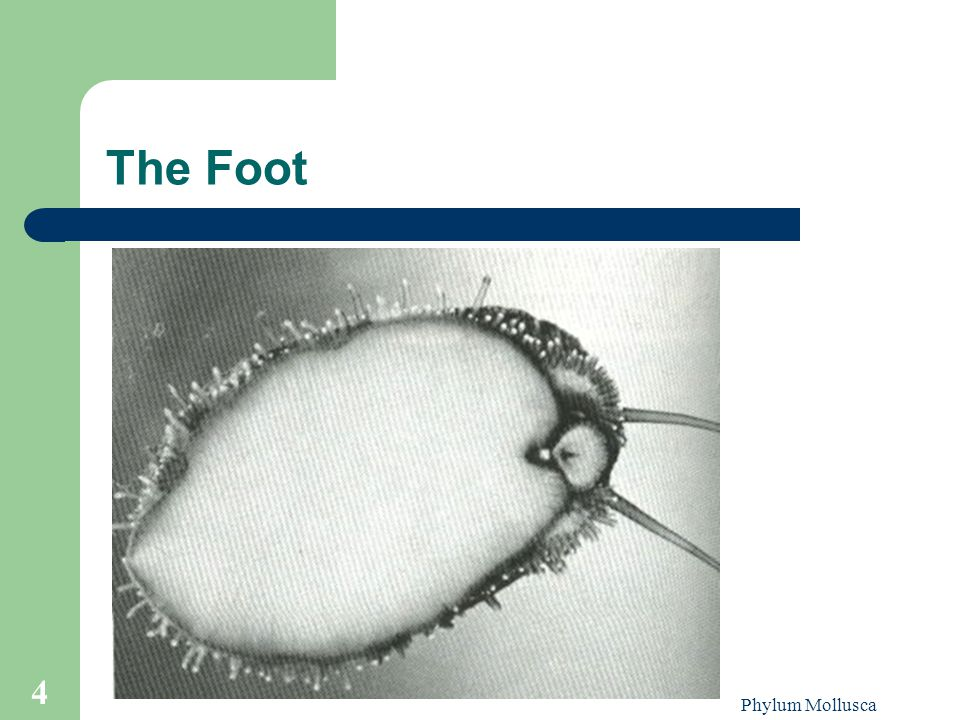 The Foot Phylum Mollusca
