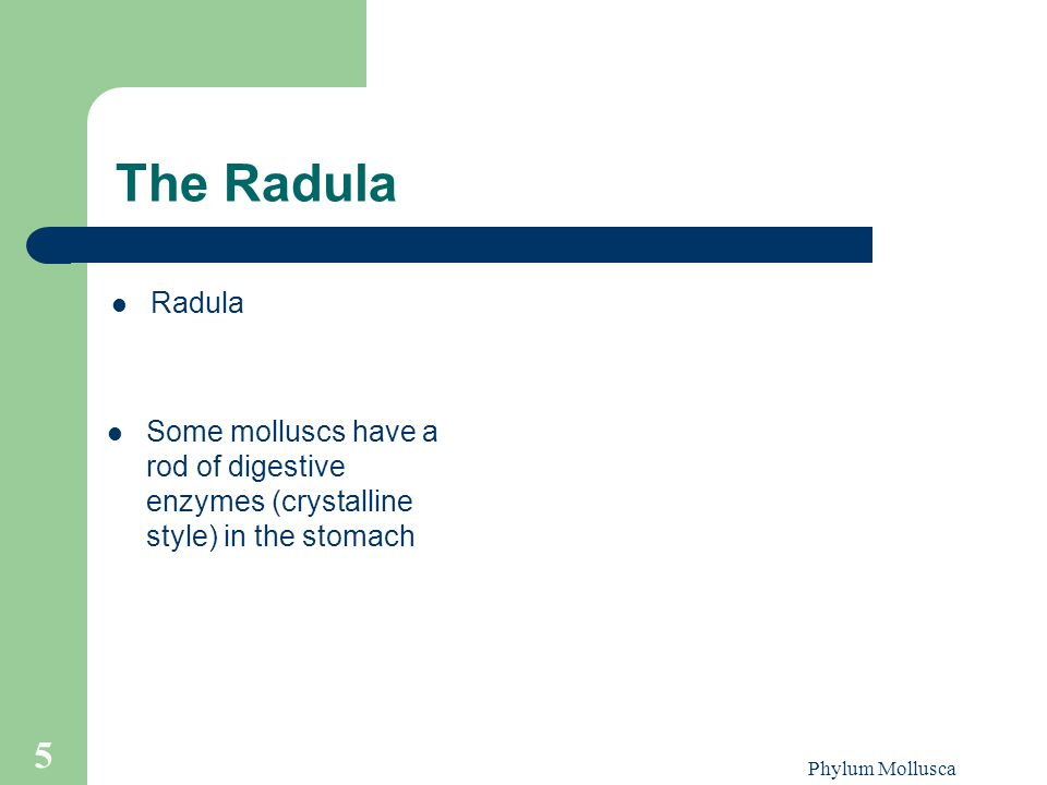 The Radula Radula. Some molluscs have a rod of digestive enzymes (crystalline style) in the stomach.