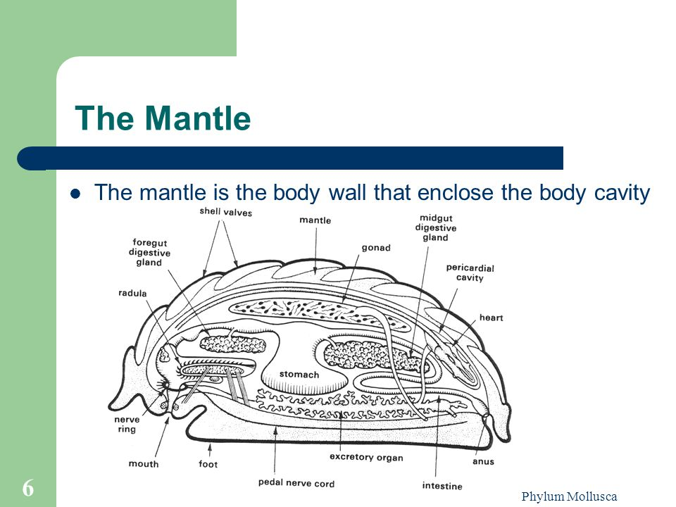 The Mantle The mantle is the body wall that enclose the body cavity