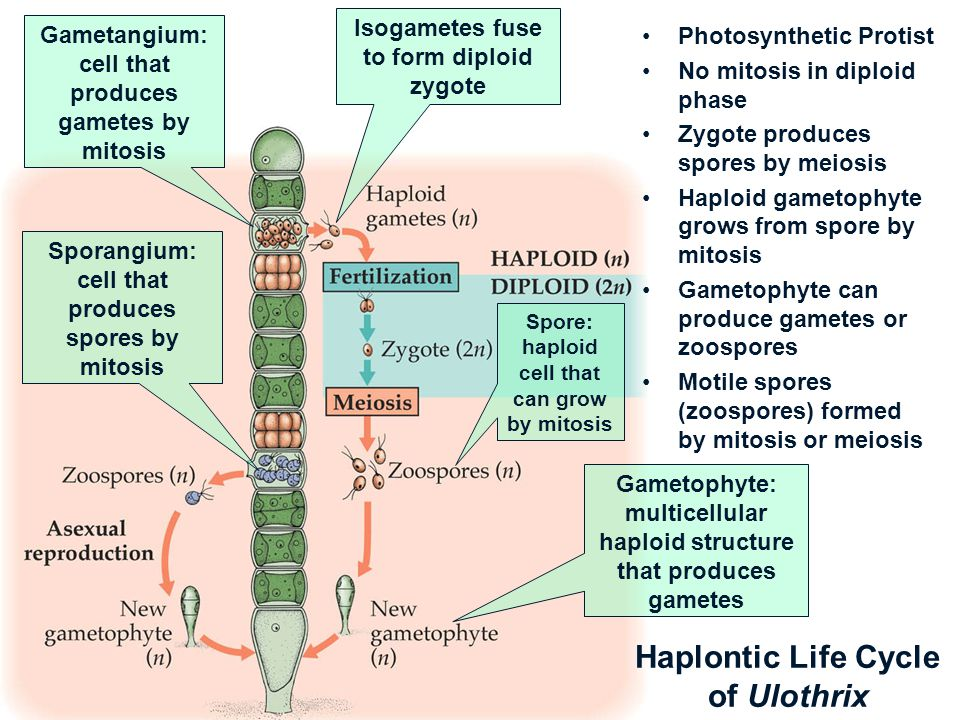 Haplontic Life Cycle of Ulothrix