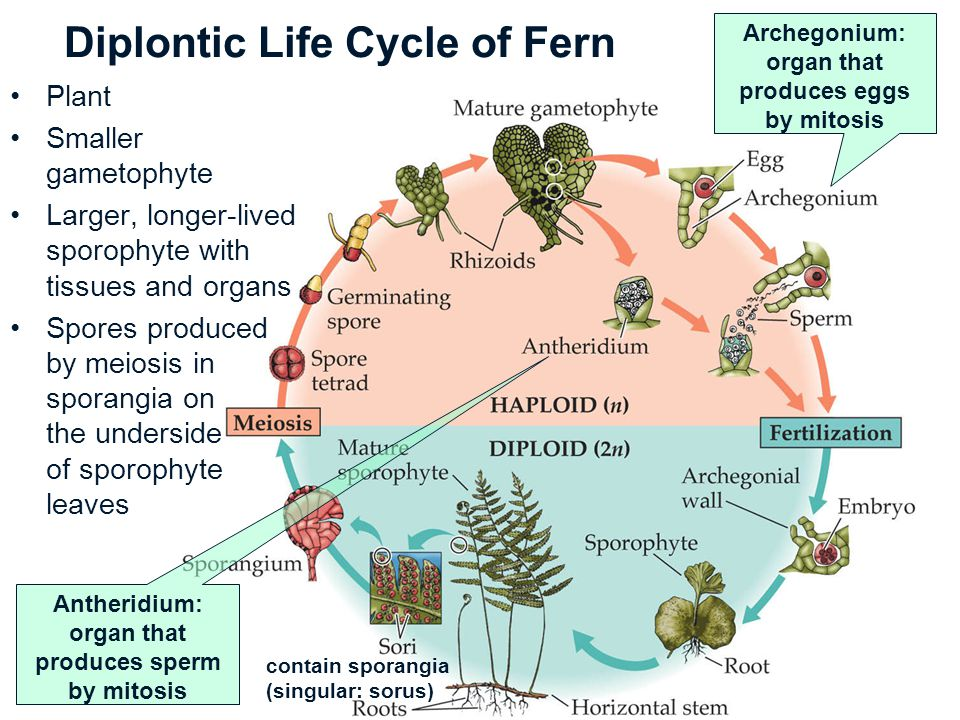 Diplontic Life Cycle of Fern