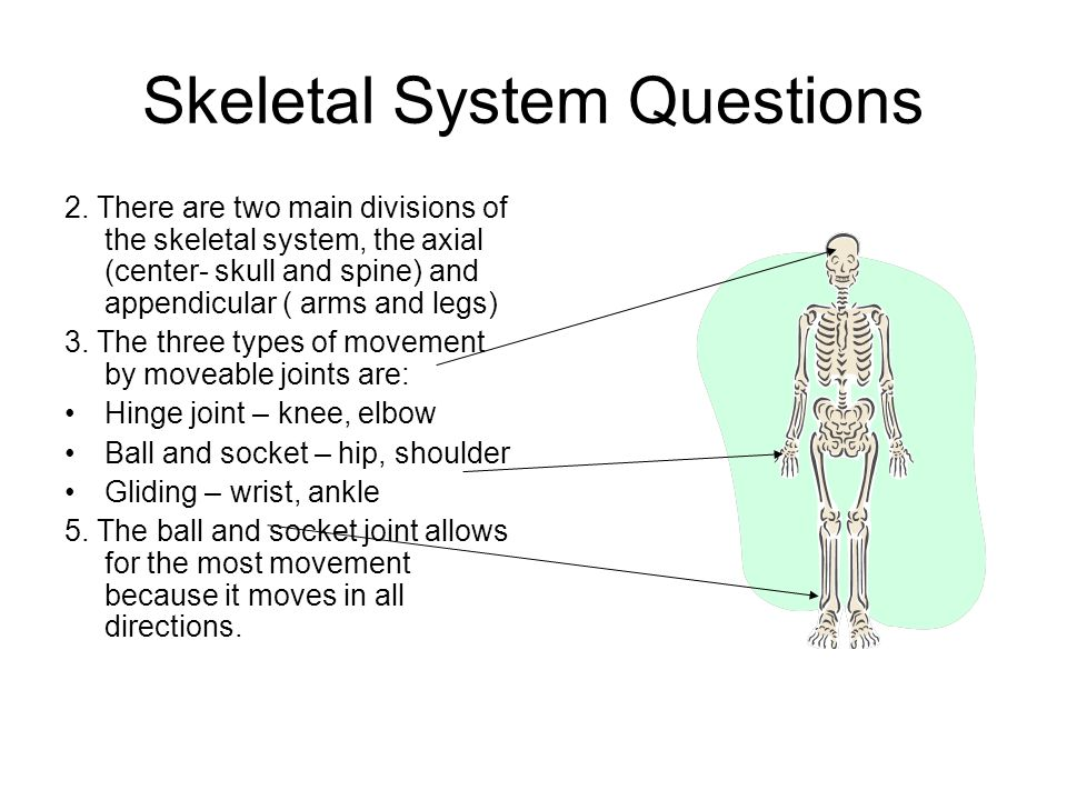 essay question skeletal system