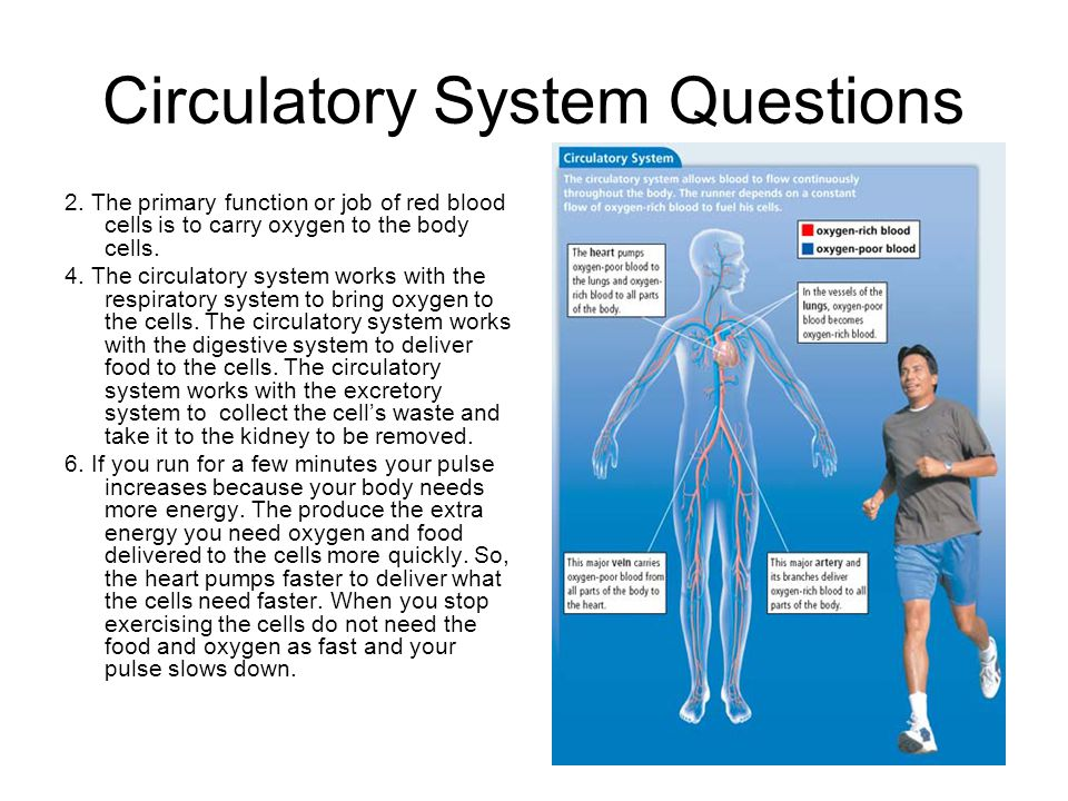 Circulatory System Questions