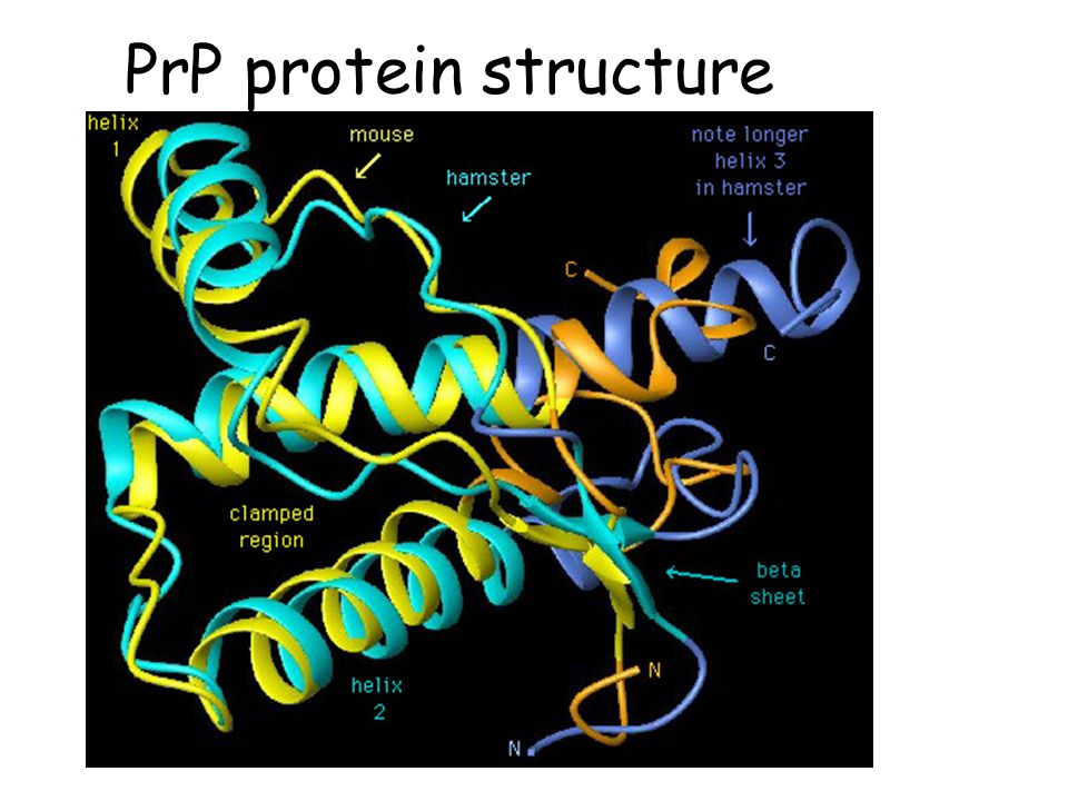 PrP protein structure