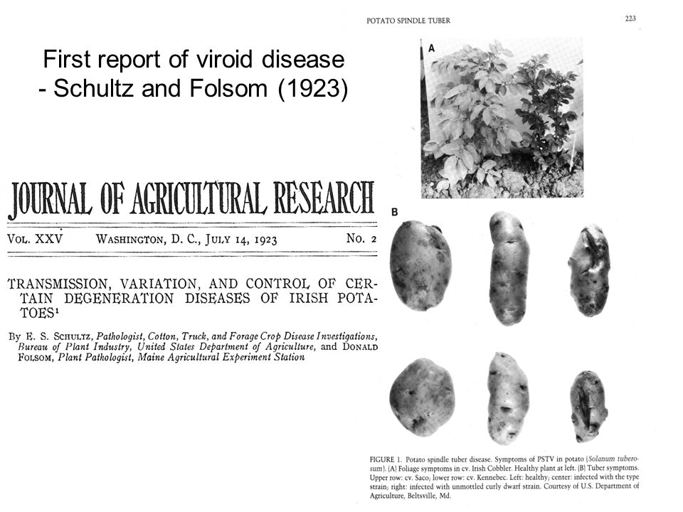 First report of viroid disease - Schultz and Folsom (1923)