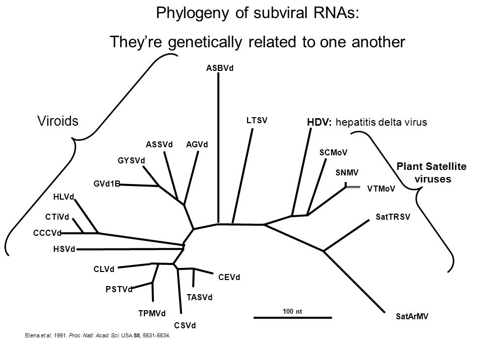 Phylogeny of subviral RNAs: They're genetically related to one another