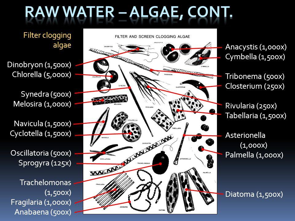 Raw Water – Algae, Cont. Filter clogging algae Anacystis (1,000x)