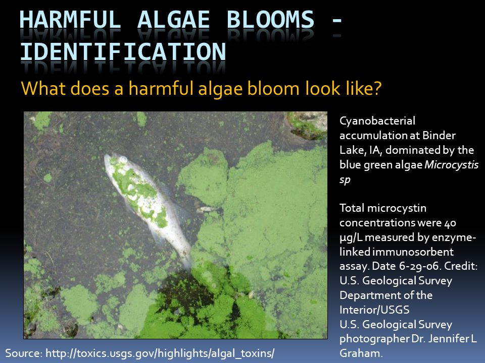 What does blue green algae look like