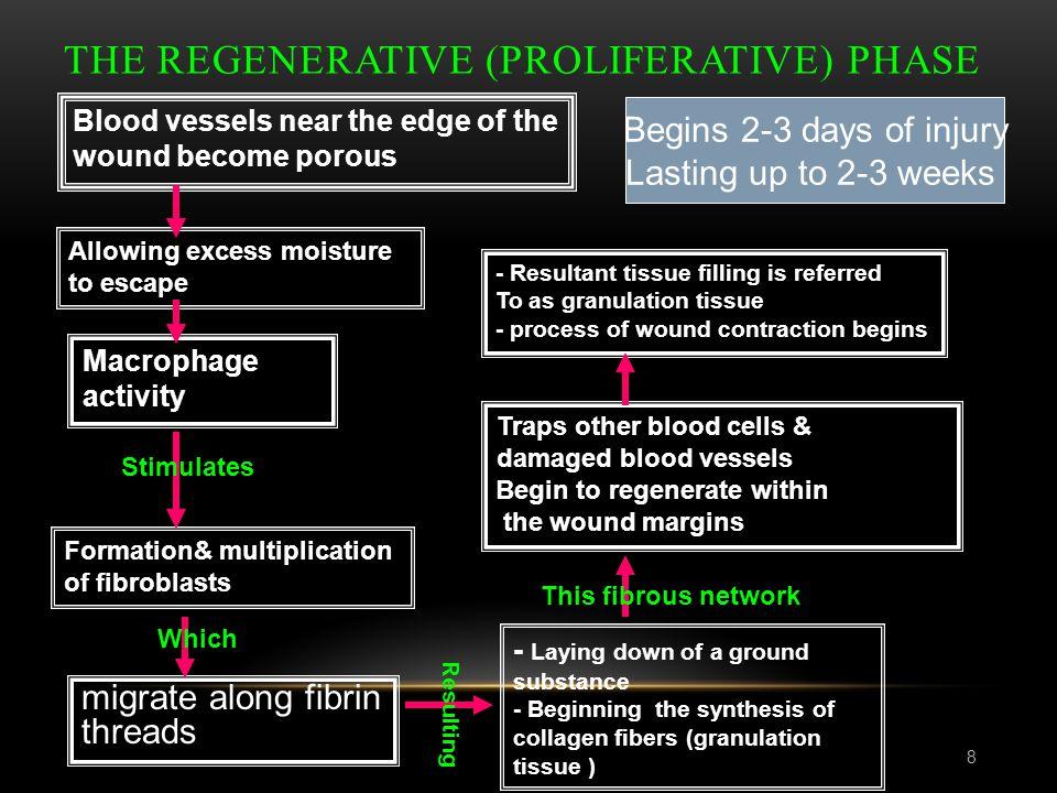 The Regenerative (Proliferative) phase