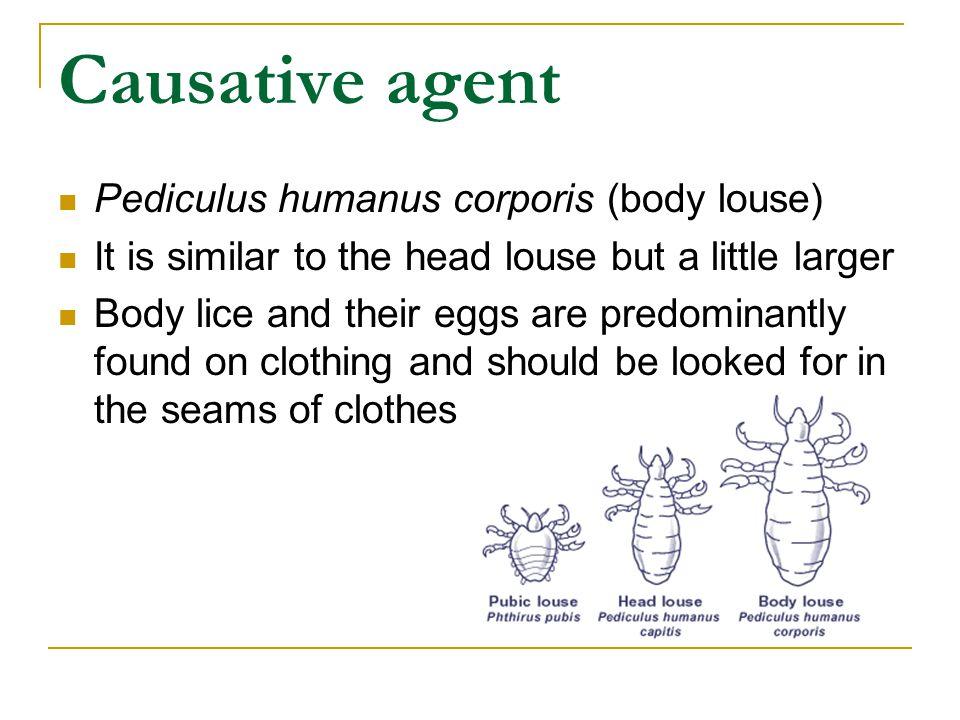 Causative agent Pediculus humanus corporis (body louse)