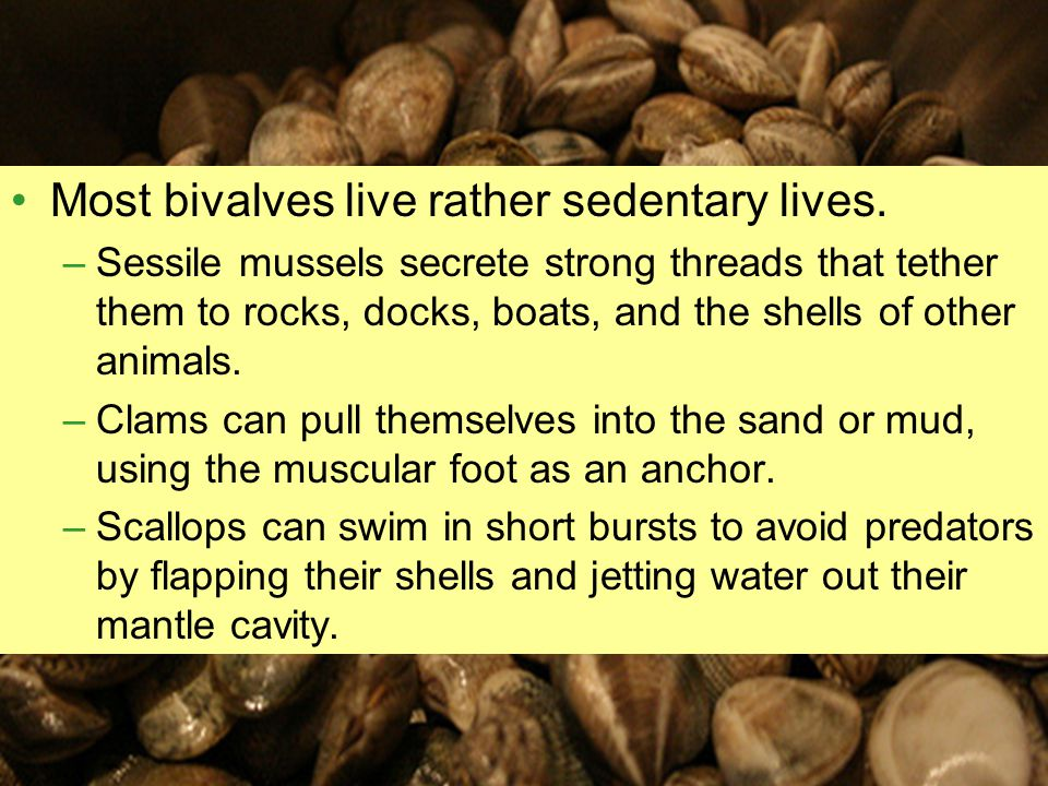 Most bivalves live rather sedentary lives.