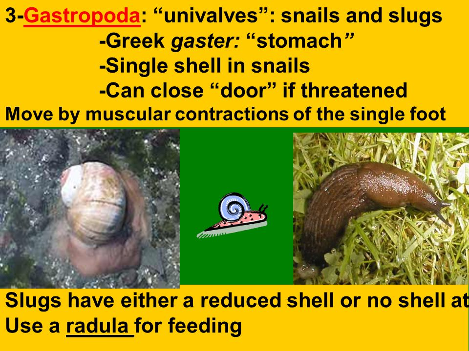 3-Gastropoda: univalves : snails and slugs -Greek gaster: stomach