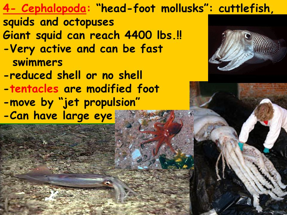 4- Cephalopoda: head-foot mollusks : cuttlefish, squids and octopuses