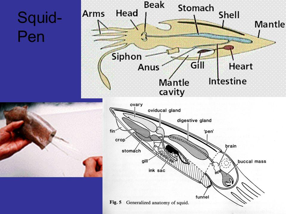 Squid- Pen