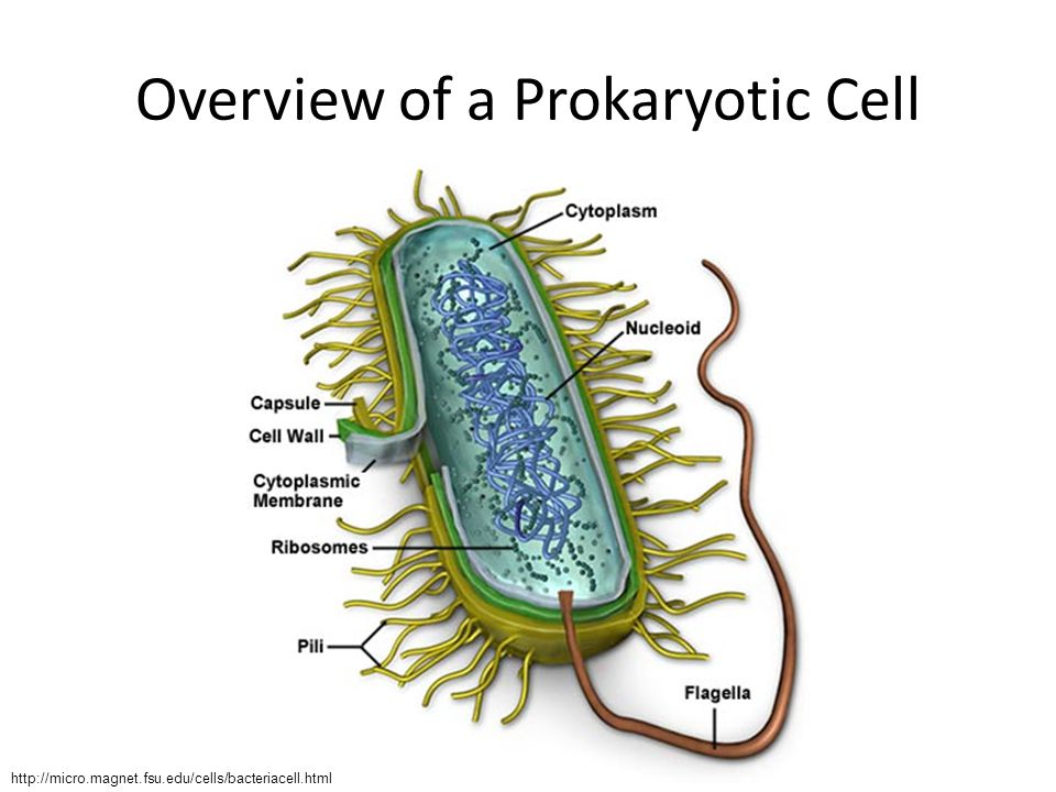 Overview of a Prokaryotic Cell