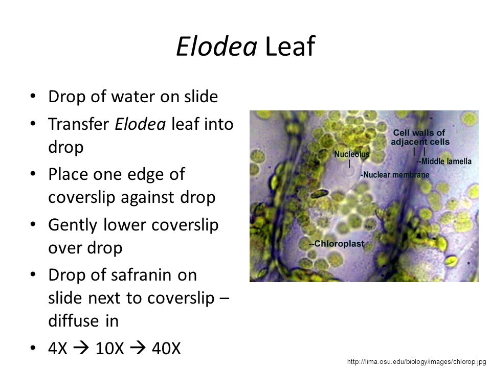 Elodea Leaf Drop of water on slide Transfer Elodea leaf into drop