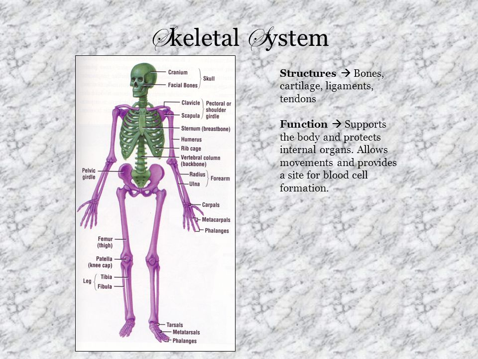 Skeletal System Structures  Bones, cartilage, ligaments, tendons