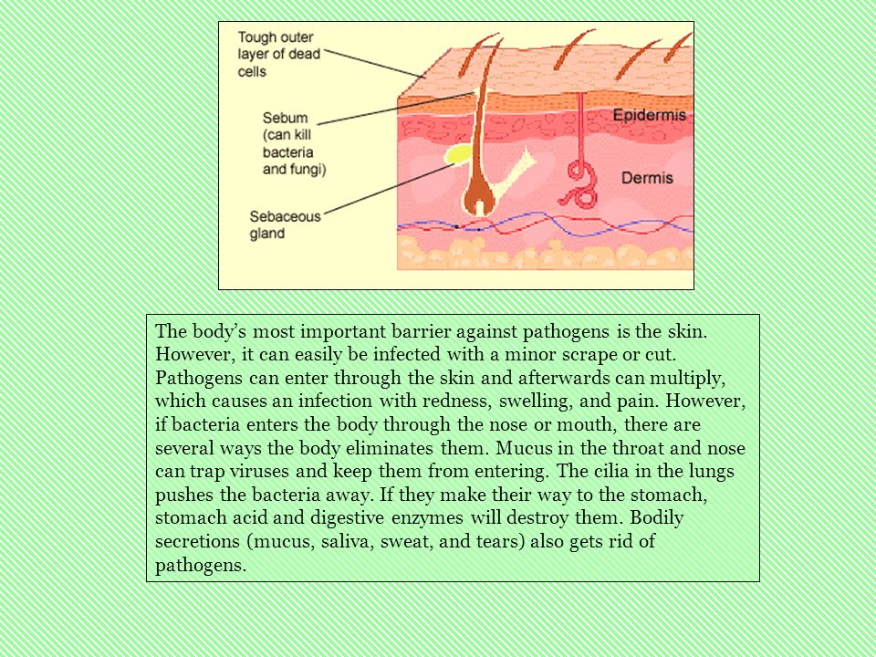 The body's most important barrier against pathogens is the skin