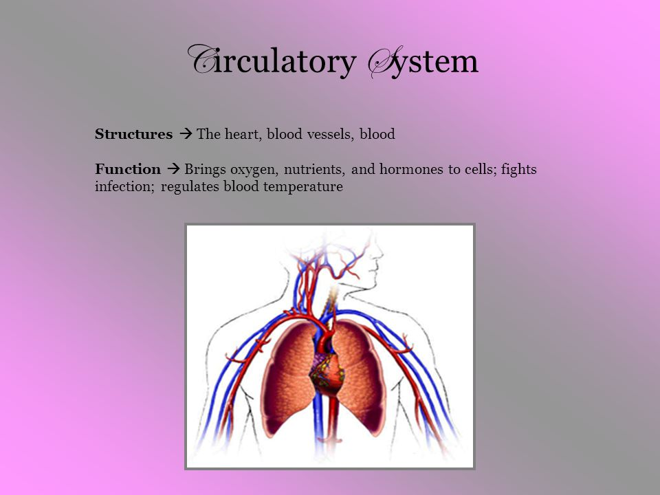 Circulatory System Structures  The heart, blood vessels, blood