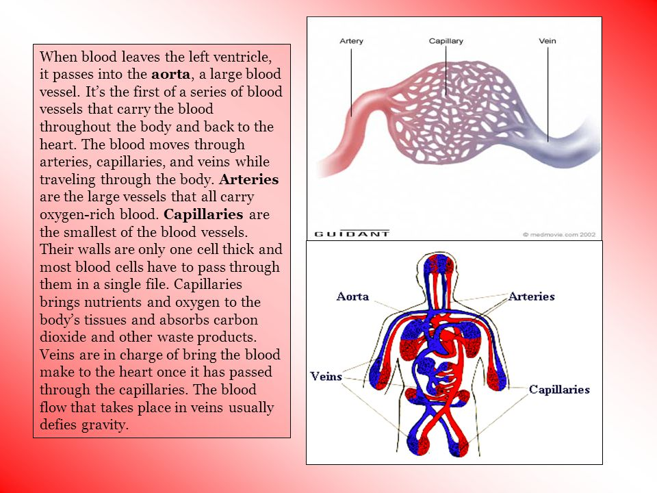 When blood leaves the left ventricle, it passes into the aorta, a large blood vessel.