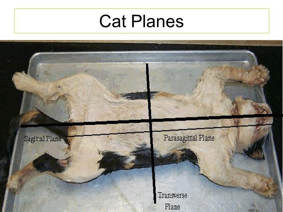 Cat Planes