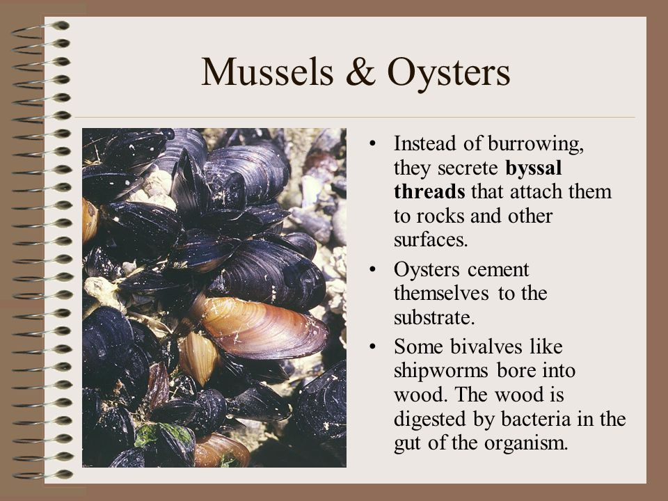 Mussels & Oysters Instead of burrowing, they secrete byssal threads that attach them to rocks and other surfaces.