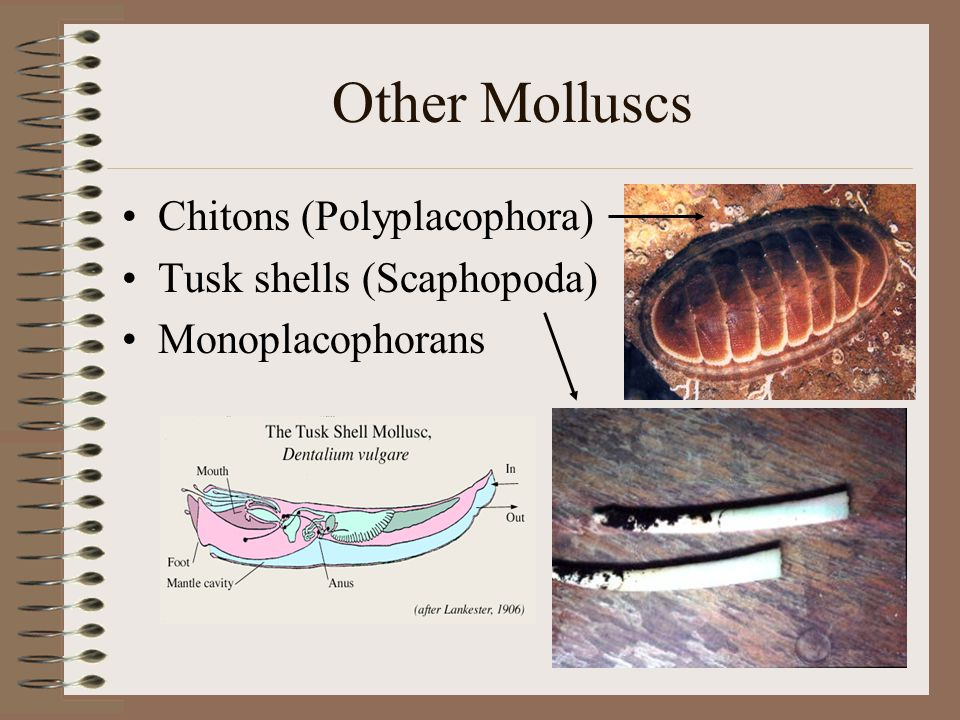 Other Molluscs Chitons (Polyplacophora) Tusk shells (Scaphopoda)