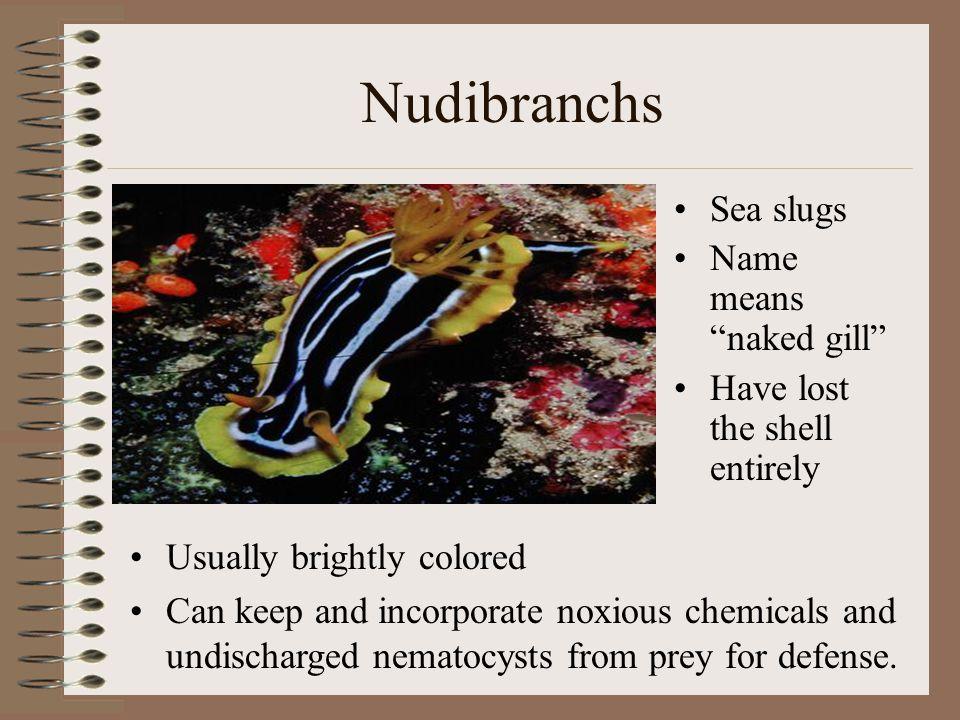 Nudibranchs Sea slugs Name means naked gill