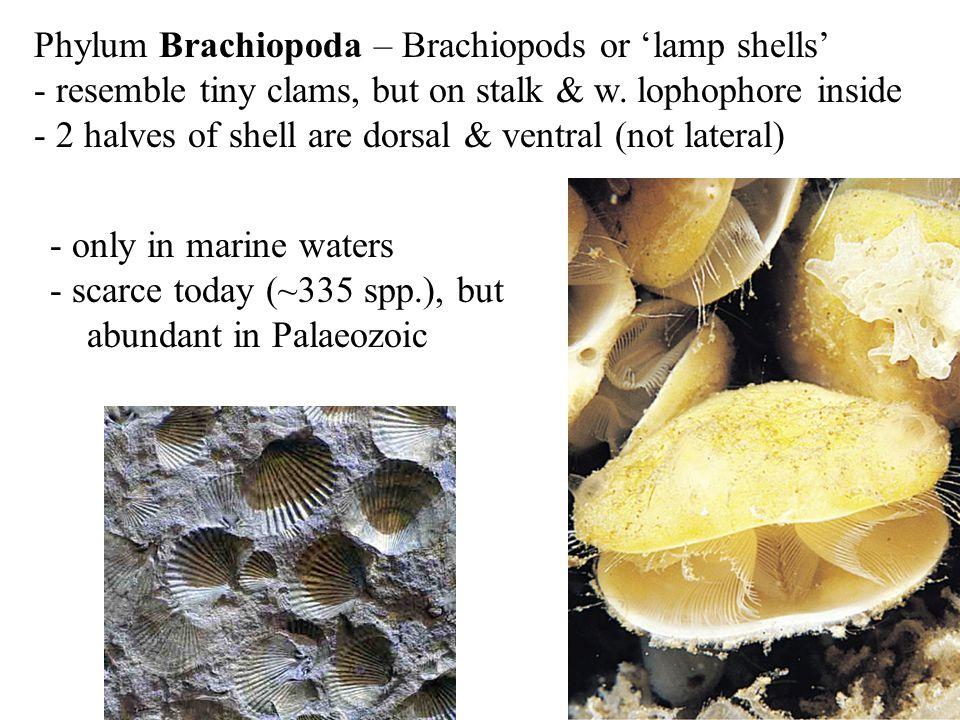 Phylum Brachiopoda – Brachiopods or 'lamp shells'
