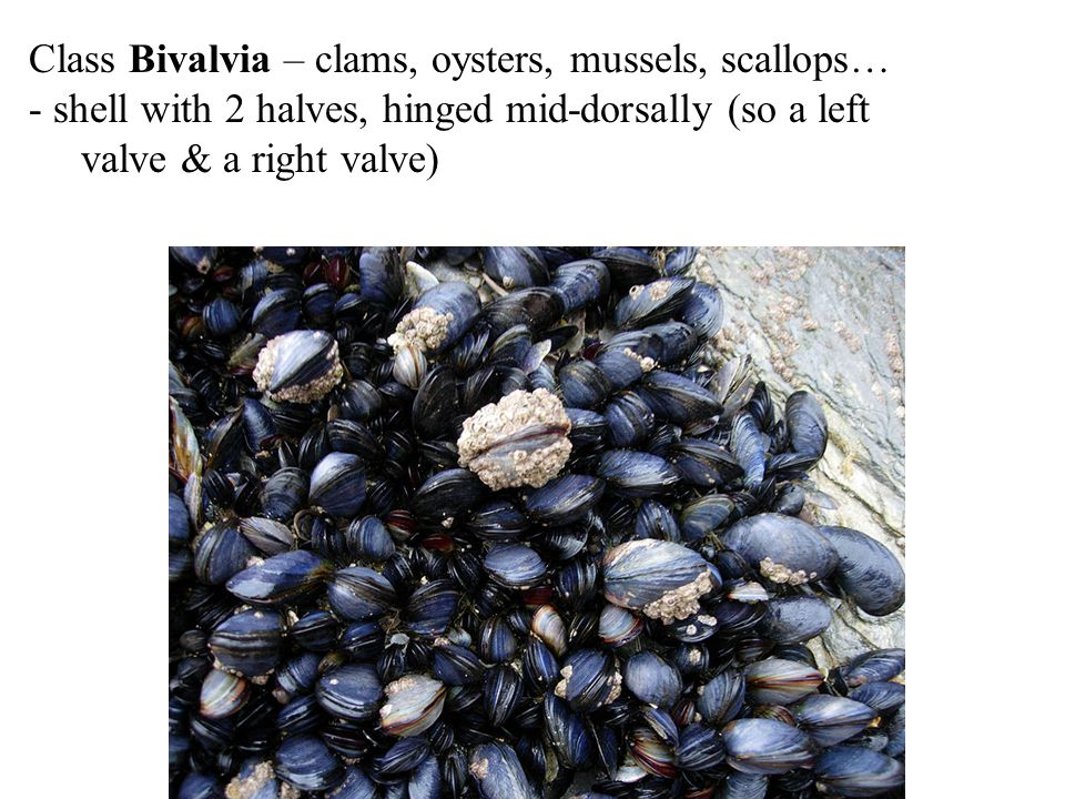 Class Bivalvia – clams, oysters, mussels, scallops…