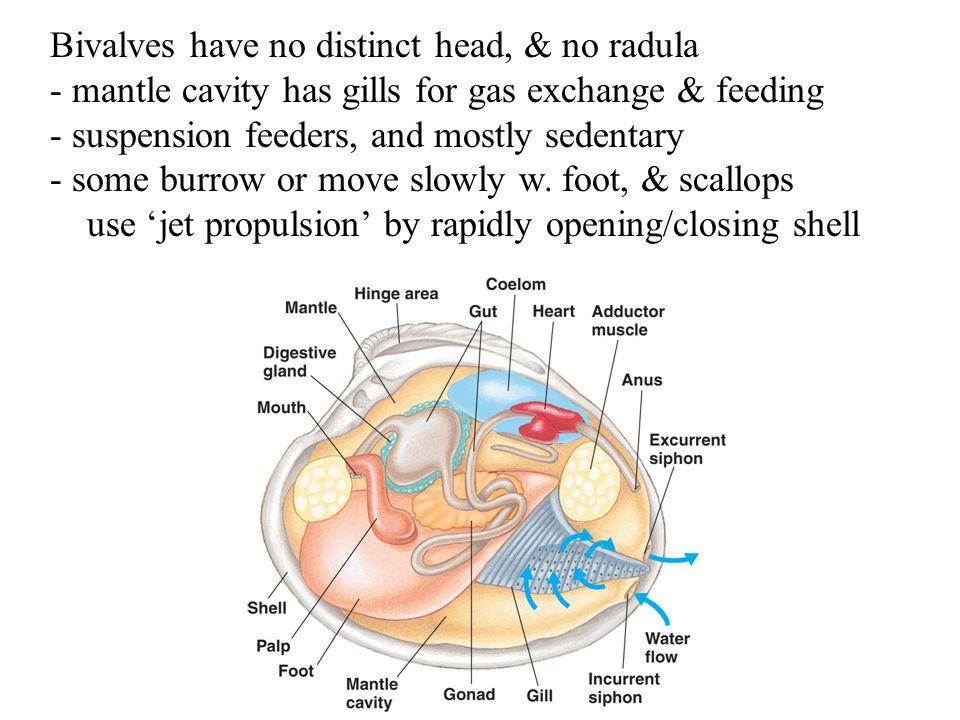Bivalves have no distinct head, & no radula