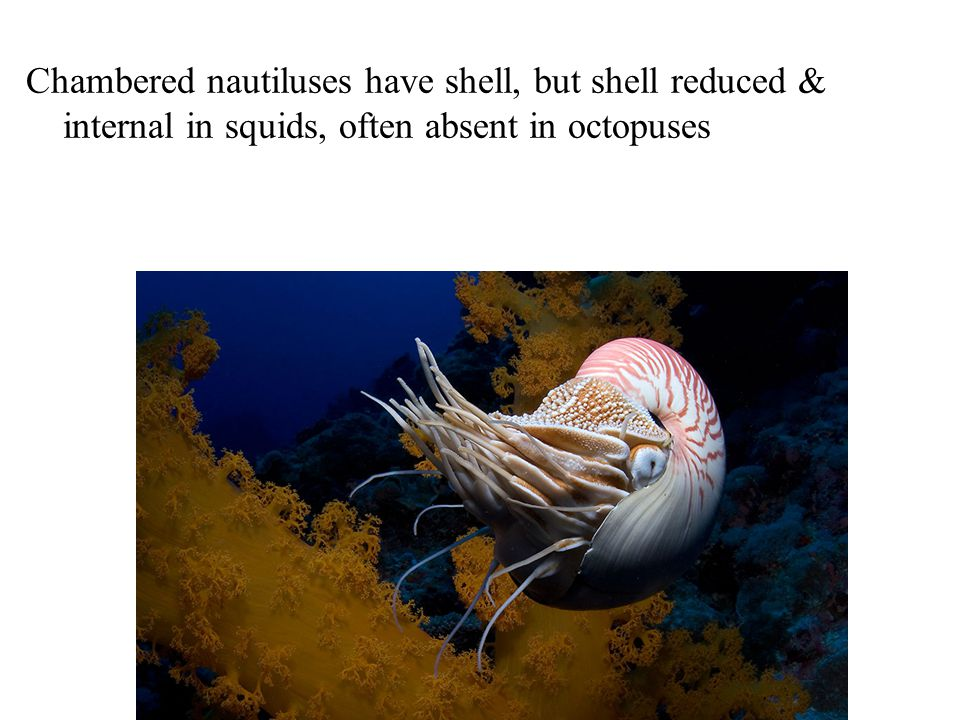 Chambered nautiluses have shell, but shell reduced &