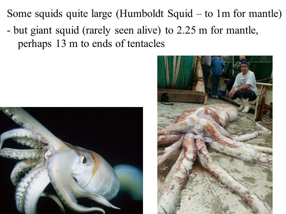 Some squids quite large (Humboldt Squid – to 1m for mantle)