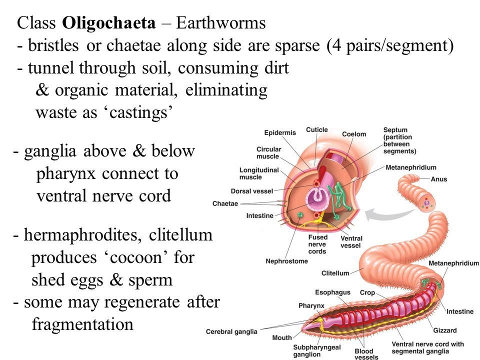 Class Oligochaeta – Earthworms