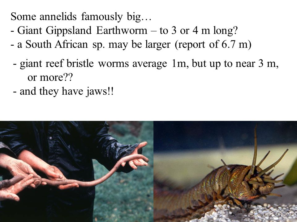 Some annelids famously big…
